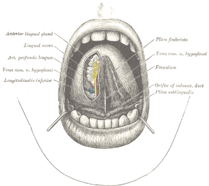 "The ""frenulum"" tag is at center right. (From ""Gray's Anatomy"")"